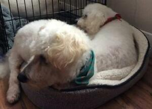 "Adult Male Dog - Bichon Frise: ""Keesha & Preston"""