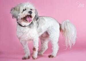"Senior Female Dog - Shih Tzu: ""Lucy"""