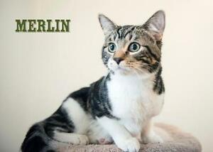 "Baby Male Cat - Domestic Short Hair (Gray & White): ""Merlin"""