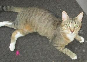 """Adult Male Cat - Tabby - Brown: """"Lewis"""""""