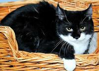 """Young Female Cat - Domestic Short Hair-black and white: """"Sage"""" Gatineau Ottawa / Gatineau Area Preview"""
