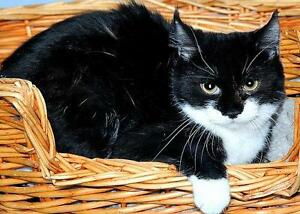 "Young Female Cat - Domestic Short Hair-black and white: ""Sage"""