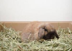 "Adult Female Rabbit - Mini-Lop: ""Cleo"""