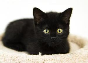 """Baby Male Cat - Domestic Short Hair (Black): """"August (Auggie)"""""""