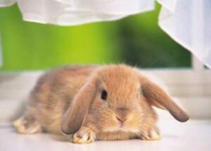 Wanting to adopt 1 to 4 lop or spotted rabbits Macclesfield Mount Barker Area Preview