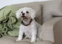 "Adult Female Dog - Bichon Frise: ""Dior"""