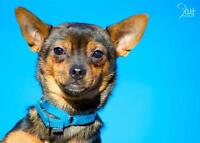"Young Male Dog - Chihuahua: ""Jace"""