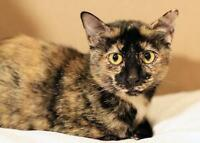 """Adult Female Cat - Domestic Short Hair: """"Lucky"""""""