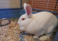 "Adult Female Rabbit - New Zealand: ""Candy"""