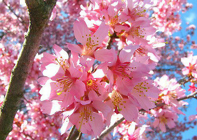 2 Okame Flowering Cherry Tree S