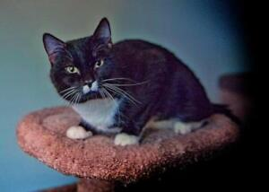 """Young Male Cat - Domestic Short Hair (Black & White): """"Charlie"""""""
