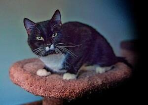 """Young Male Cat - Domestic Short Hair-black and white: """"Charlie"""""""