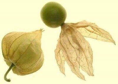 .. Ananaskirsche... wächst rasend schnell ☼ Obst für Haus und Garten ✿ Saatgut ✿ (Saatgut Schnell)