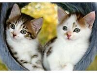 Beautiful maine coon x bengal kittens
