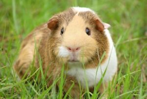 ALL INCLUDED PET SITTING FOR GUINEA PIG ONLY