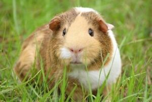 PET SITTING FOR GUINEA PIG ALL INCLUDED