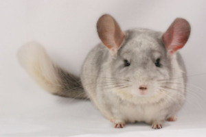 a one-year-old chinchilla for sale