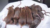 SOURIS RATS EXTERMINATION