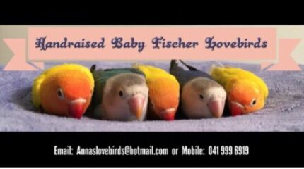 Handraised Or Tamed Fischer Lovebird for Pet