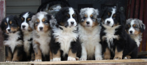 Australian Mountain Dogs Puppies