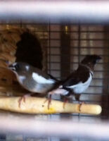Society finches
