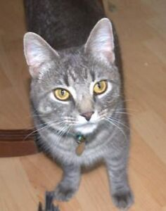 Male Grey Cat Lost in North End Halifax Creighton Street