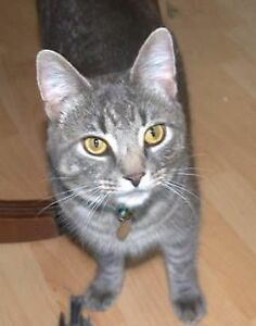 Grey Tabby Cat missing since August in North End Halifax