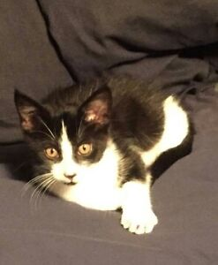 3 month old black and white short haired kitten MONAGHAN/ROMAIN Peterborough Peterborough Area image 1