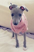 Looking for an Italian Greyhound Puppy