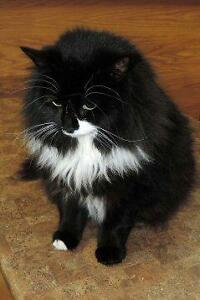 "Adult Male Cat - Domestic Short Hair: ""Bowen"""