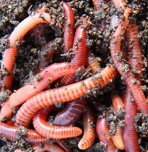 Red Wriggler Worm Composting System