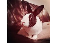 Adorable Dutch Rabbit looking for a loving home