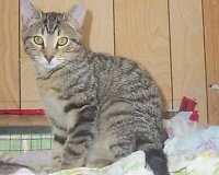"Adult Male Cat - Tabby - black: ""OPEE"""