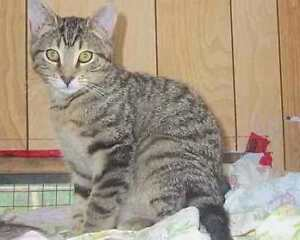 "Adult Male Cat - Tabby: ""OPEE"""