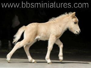 Poulain cheval miniature palomino,triple enregistrements en main