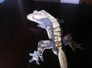Crested Geckos and a Chinese Warty Newt for sale