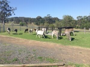 Rare breed miniature cattle Tinonee Greater Taree Area Preview