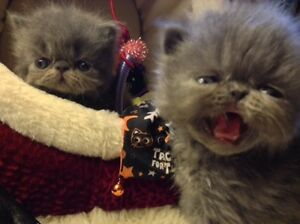 Persian & Championship Bloodline Campbell River Comox Valley Area image 4