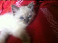 Kitten, stunning little female Ragdoll/Persian, selling due to my allergy :(