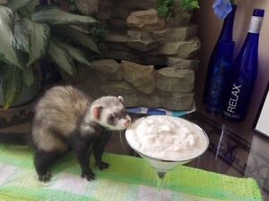 Extremely friendly ferret and his house to loving new home