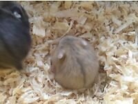 Baby Dwarf Hamsters For Sale