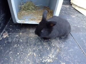 3 baby bunnies for sale.