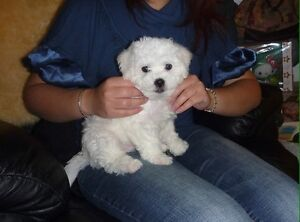 Purebred bichon Frise puppies ( & westie pups to come)