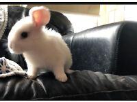 Buck rabbit