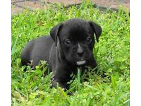 Lab cross puppies