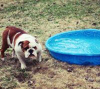 Adorable femelle bulldog anglais de trés grande qualité