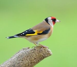 Wanted finches like this one Warnbro Rockingham Area Preview