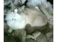 Reduced Beautiful Ragdoll x Kittens 1 gorgeous boy left