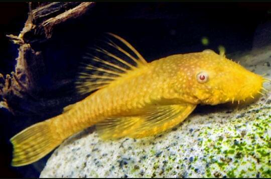 Male albino bristle nose pleco algae eater fish aquarium for Bottom feeder aquarium fish
