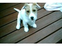 For sale 6 month old jack russel girl